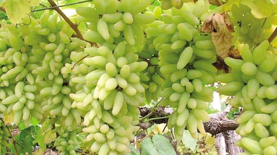 द्राक्ष बाजारात गुणवत्तेचा मुद्दा कळीचा