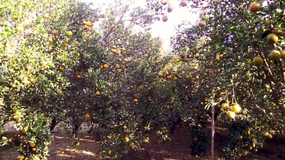 दर्जेदार फळांच्या उत्पादनावर भर.