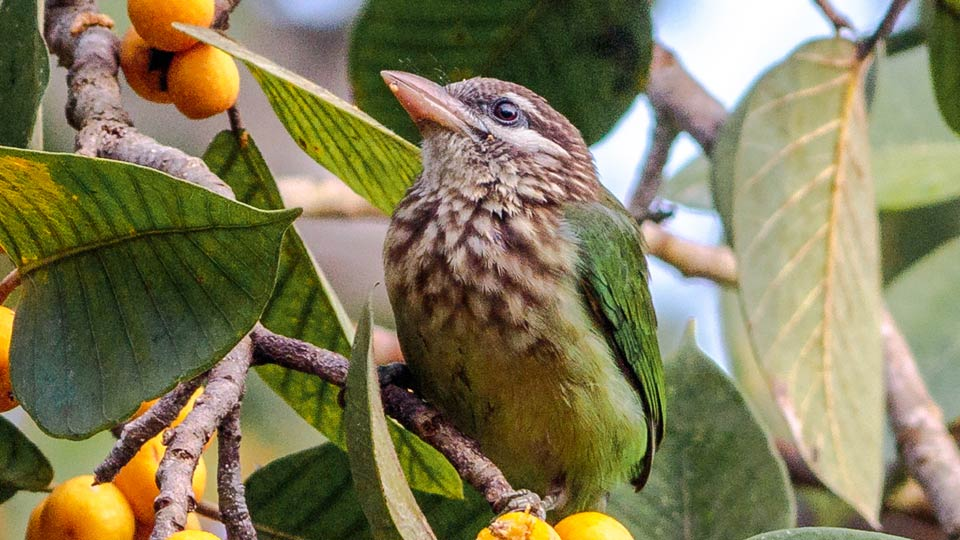 white cheeked barbet bird
