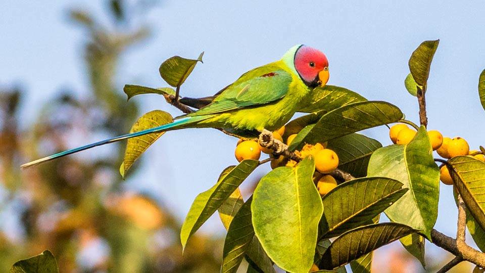 plum headed parakeet bird