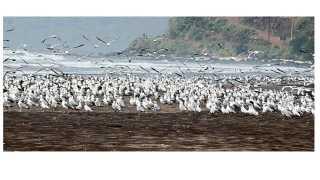 दापोली -हर्णै, आडे समुद्रकिनाऱ्यांवर दाखल झालेले सीगल (छायाचित्रे : धीरज वाटेकर)