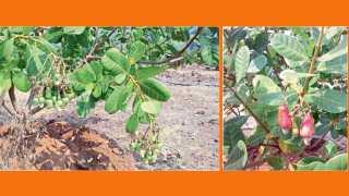 दापोली - सुनील फिलसे यांनी लागवड केलेल्या बागेतील काजू. दुसऱ्या छायाचित्रात  काजू कलमांना लगडलेल्या काजूबिया.
