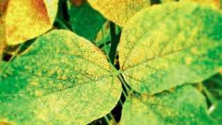 सोयाबीनवरील तांबेरा रोगाचा प्रादुर्भाव