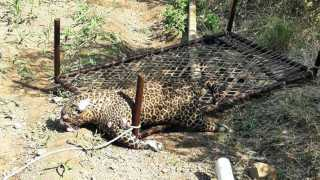 marathi news leopard found dead in the well