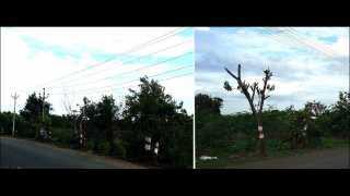 अकलूज- येथे विजेच्या तारांना अडथळा असे सांगत पालखी मार्गावरील अनेक झाडे तोडली आहेत. (छायाचित्र: मनोज गायकवाड, अकलूज)