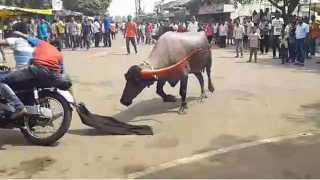buffalo competition in Kolhapur