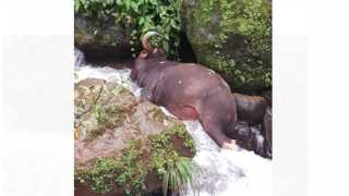 The death gaur animal  due to 300 feet down the drain in Patan