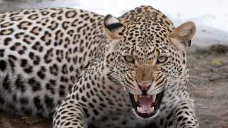 marathi news leopard attack women dead