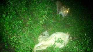 Leopard found in Bauer Shivar