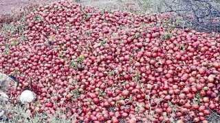 बिजवडी (ता. माण) - येथील बापूराव गुंजवटे यांनी पाणीटंचाईमुळे तोडून टाकलेली डाळिंबाची फळे.