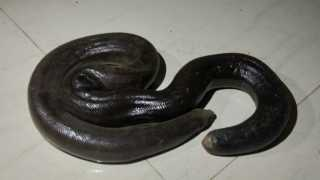Two lakhs of madla snake escape from the possession of smuggling