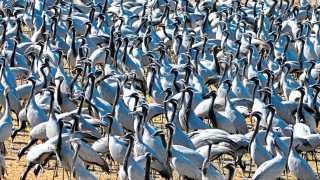 कांड्या करकोचा स्थलांतरीत पक्ष्यांचा थवा.