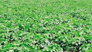 सनपुरी, जि. परभणी - येथील नरेश शिंदे यांनी द्रवरूप जिवाणू खताची बीज प्रकिया केलेले सोयाबीनचे पीक.
