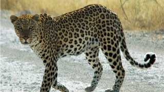 marathi news leopard killed goats