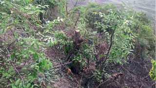 सातारा - अजिंक्यतारा किल्ल्यावर अज्ञातांनी तोडलेली झाडे.