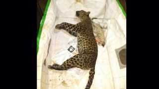 leopard dead body