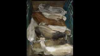 akola news 30 cows taken for slaughter