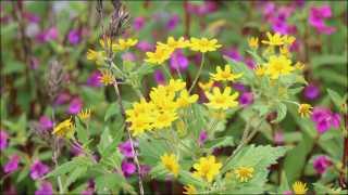 कास पठारावर फुलतोय फुलांचा रंगोत्सव