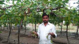 रोपळे खुर्द (ता माढा) : येथील संताजी पाटील यांच्या द्राक्ष बागेतील फळ डवण्या रोगाने अशा प्रकारे जळून चालली आहेत.