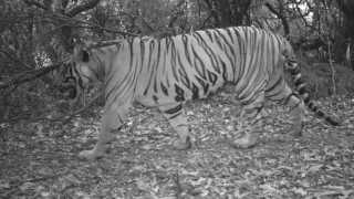 Sahyadri forest area found two Tigers