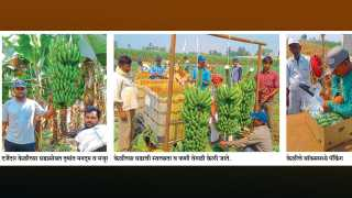 Cultivation of sugarcane banana