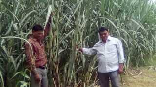 High educated farmer Harinkhede farmed sugarcane crops