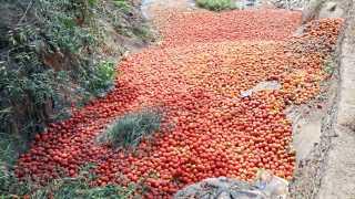 औरंगाबाद - शहापूर येथील नाल्यात सुमारे ट्रकभर टोमॅटो शेतकऱ्यांनी असे फेकून दिले.