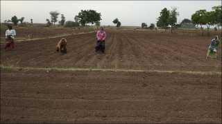 रोजगाव (ता. साक्री) : शिवारातील महिला शेतकरी गोकुळबाई बापूजी महाजन यांच्या शेतात मजुरांच्या सहाय्याने सुरू असलेली कापूस लागवड.