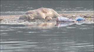 नदीत कुत्रे मरून पडल्याने पाण्याच्या शुद्धीकरणाचा प्रश्न