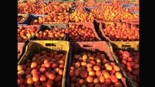 Production Cost will not earn by Tomato farmers tension