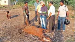 horse dead in sangli