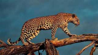marathi news leopard attack on women