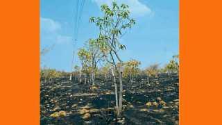 वाशी - वीजतारांच्या घर्षणामुळे लागलेल्या आगीत आंबा व चिंचेच्या झाडांचे झालेले नुकसान.