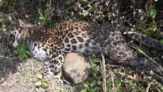 Nashik News Igatpuri News Leopard One Arrested