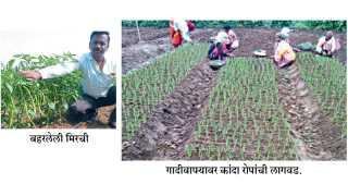 Onion-Plantation