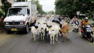 animals block road and make traffic
