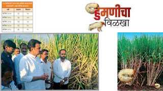 Sugarcane and humani