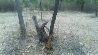 चांडोह वन विभागात चंदनाची कत्तल