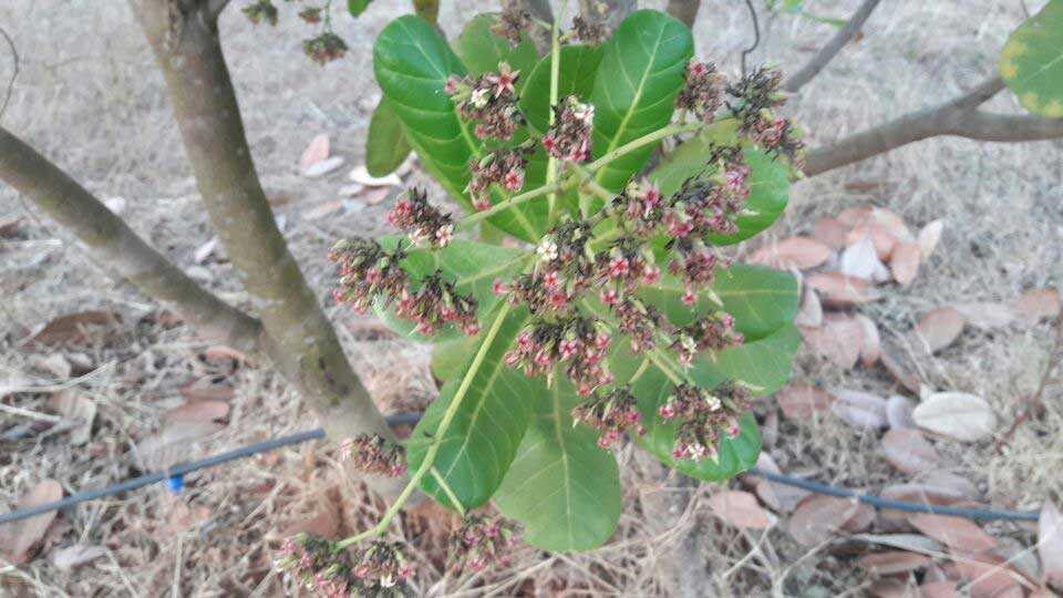 काजूच्या बागेतील दोन वर्षांची झाडे