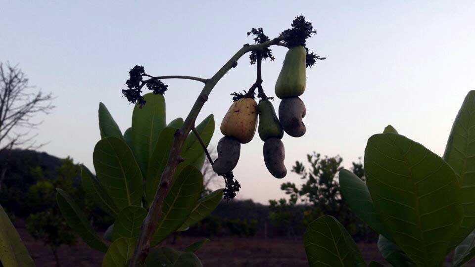 काजूची बाग (फोटो फिचर)