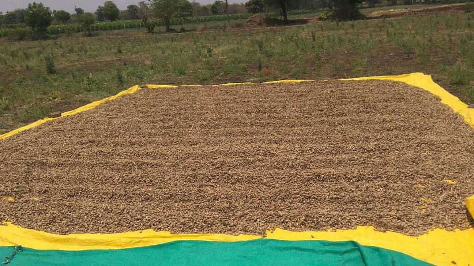 Peanut producing farmer facing loss