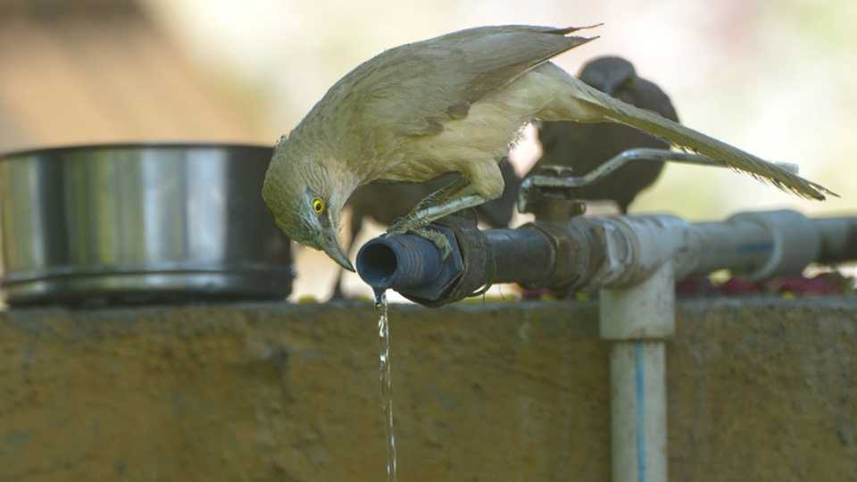 Birds suffer because lack of water
