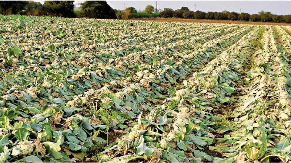 नारायणगाव (ता. जुन्नर) - काढणी, मजुरी वसूल होत नसल्याने येथील संतोष तोडकरी या शेतकऱ्याने सोडून दिलेले फ्लॉवरचे पीक.