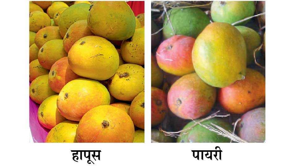 Hapus-Payari-mango