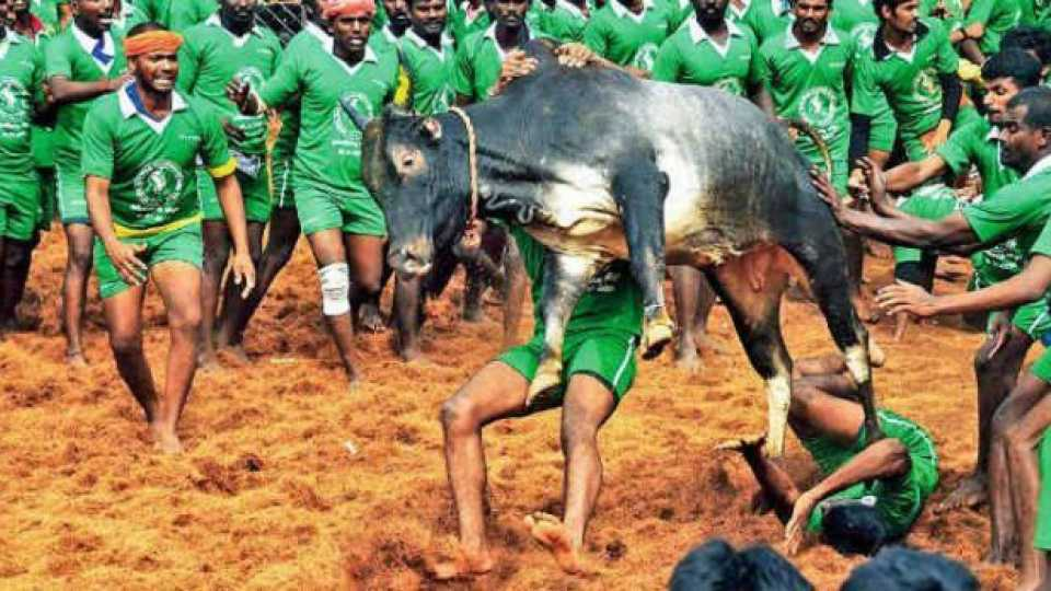 Jallikattu Returns In Tamil Nadu