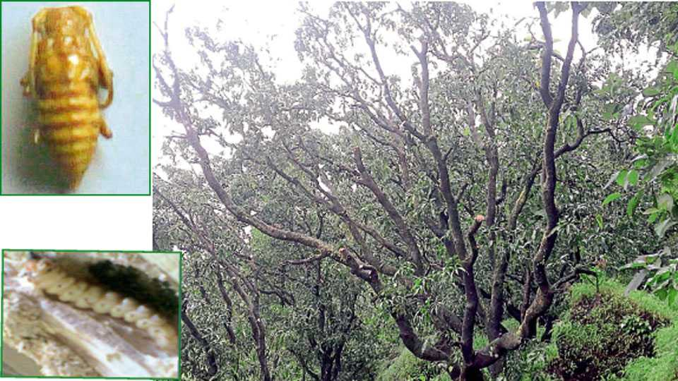 राजापूर - खोंडकिड्याच्या प्रादुर्भावामुळे आंबा कलमांच्या फांद्या मरून झाडे अशी मरणासन्न स्थितीत उभी आहेत.