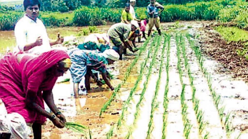 शिफारशीनुसार भात रोप लागवडीचे अंतर ठेवल्याने पिकाची चांगली वाढ होते.