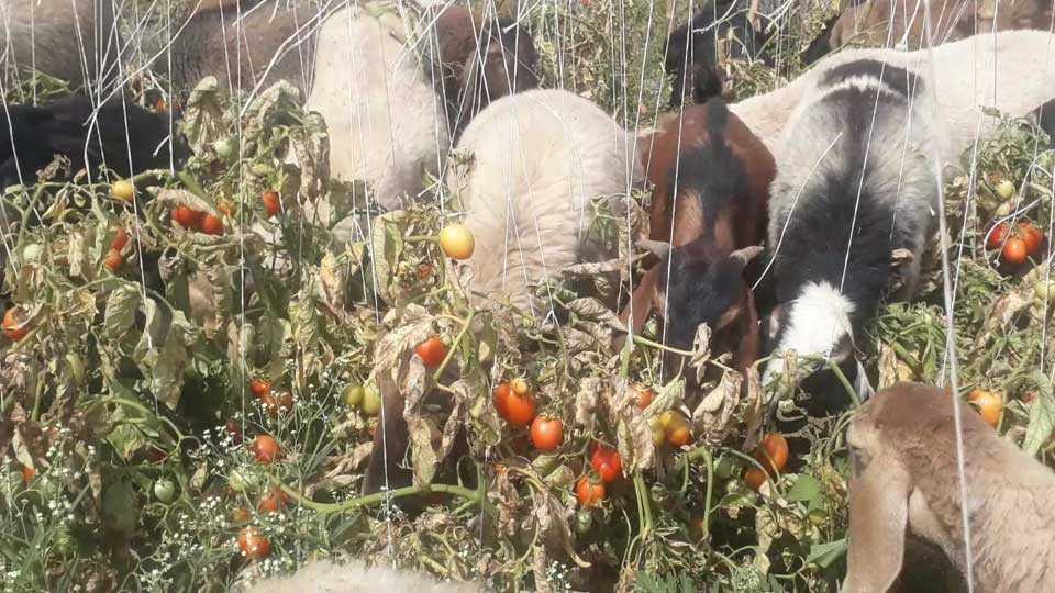 farmer tomato loss news nashik news