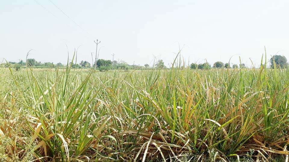 walchandnagar news about crops