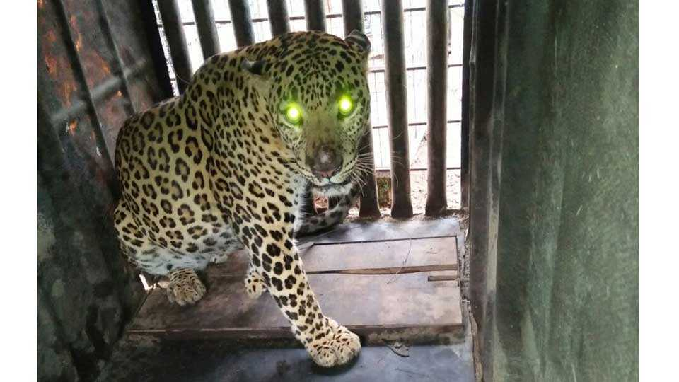 forest officer caught leopard
